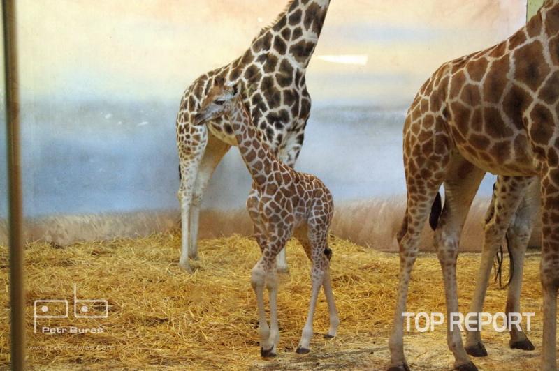 Mládě žirafy severní núbijské Nela