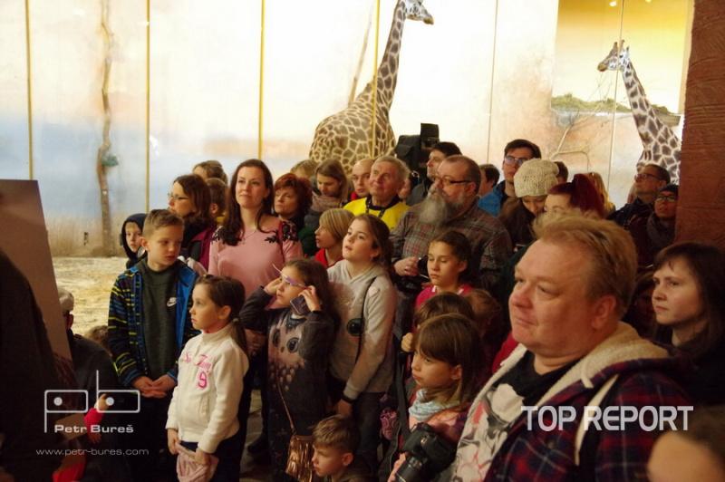 Křest mláděte žirafy severní núbijské Nely