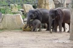 Pražské sloní stádo slonů indických 02