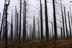 Národní park Šumava - kůrovec