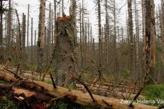 Zachraňme Šumavu aneb Zpátky ke kořenům