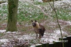 Hyena čabraková na sněhu