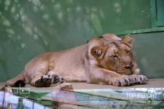 Lev indický